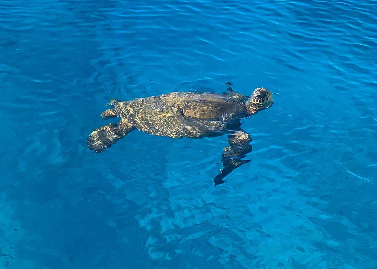 A sea turtle in Hawaii